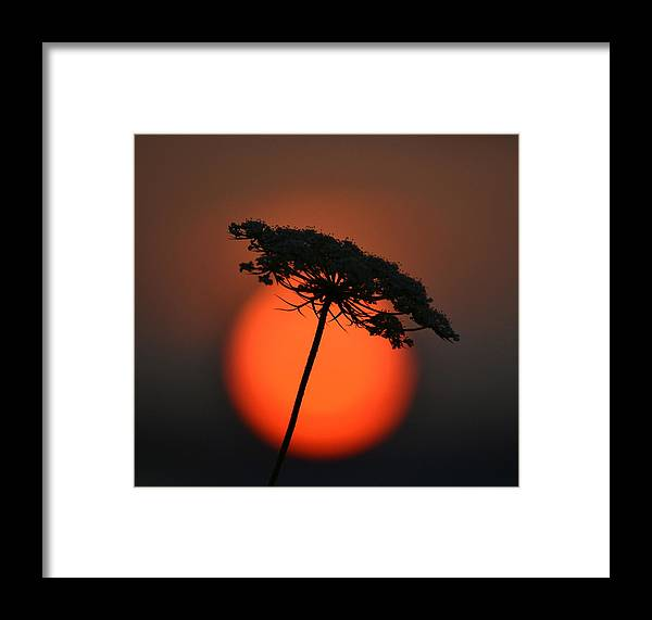 Daucus Carota Framed Print featuring the photograph Queen Anne's Lace by Colleen Phaedra