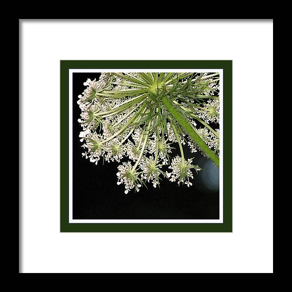 Queen Anne's Lace Framed Print featuring the photograph Queen Anne's Umbrella by Ginger Howland