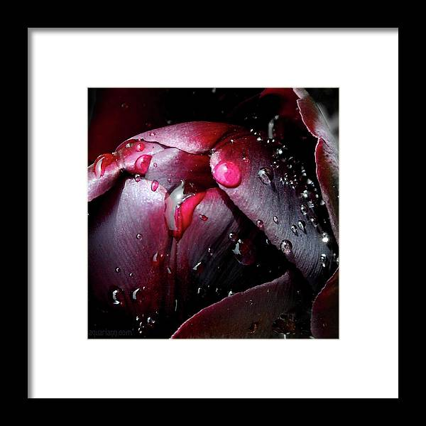 Queen Of The Night Tulip Framed Print featuring the photograph Queen Of The Night Cries In Joy by Kristin Aquariann