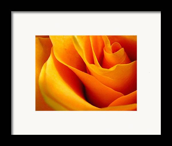 Rose Framed Print featuring the photograph Queen Rose by Rhonda Barrett