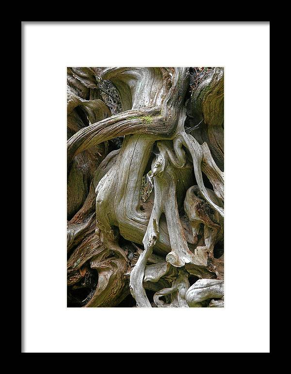 Roots Framed Print featuring the photograph Quinault Valley Olympic Peninsula Wa - Exposed Root Structure Of A Giant Tree by Christine Till