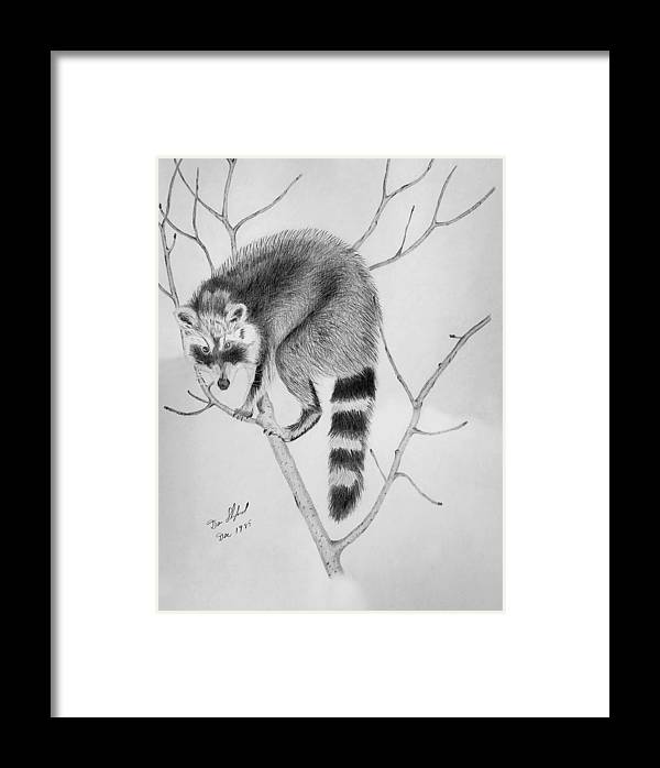 Dan Shuford Framed Print featuring the drawing Raccoon Treed by Daniel Shuford