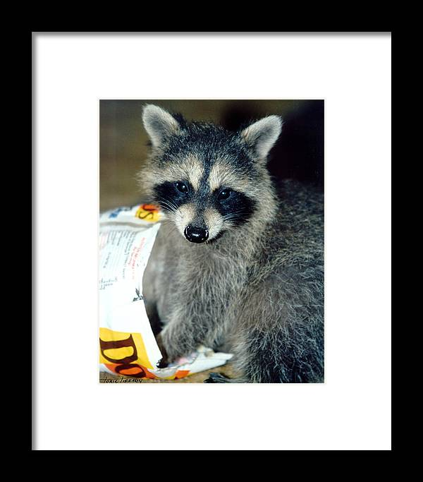 Faunagraphs Framed Print featuring the photograph Raccoon1 Snack Bandit by Torie Tiffany