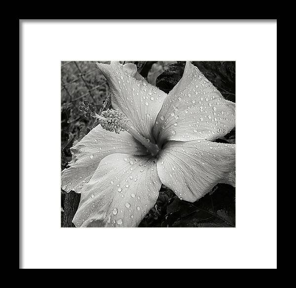 Hibiscus Framed Print featuring the photograph Rain-drenched by ReJeanA