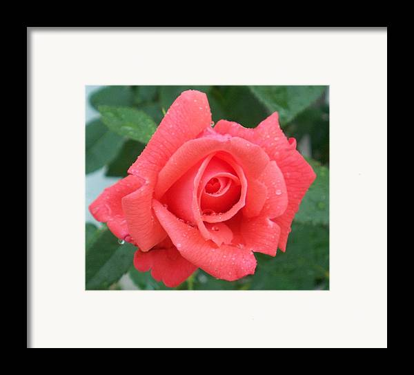Flowers Framed Print featuring the photograph Rain Drenched Rose by Ellen B Pate