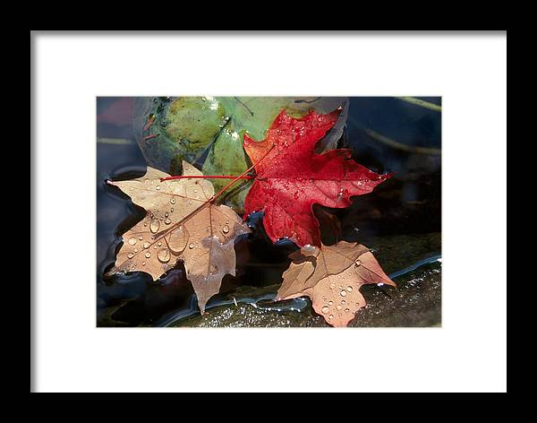 Fall Framed Print featuring the photograph Rain Drops On Leaves by Raju Alagawadi