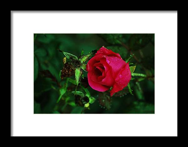Rose Framed Print featuring the photograph Rain Kisses by Trudi Southerland