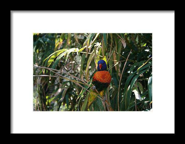 Rainbow Lorikeete Framed Print featuring the photograph Rainbow Lorikeete by Janet Hall