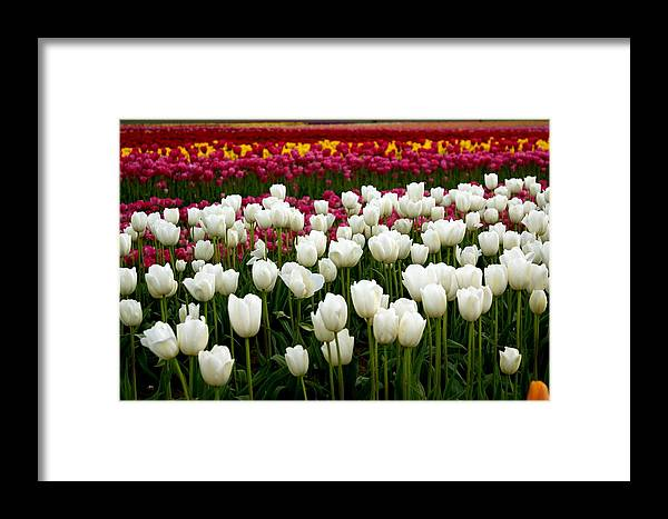 Flowers Framed Print featuring the photograph Rainbow Of Tulips by Sonja Anderson