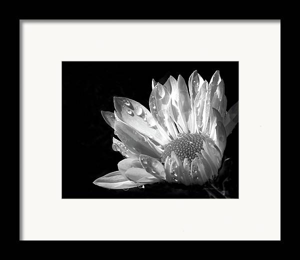 Daisy Framed Print featuring the photograph Raindrops On Daisy Black And White by Jennie Marie Schell