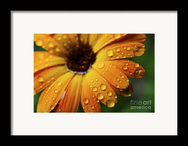 Orange Framed Print featuring the photograph Rainy Day Daisy by Thomas R Fletcher