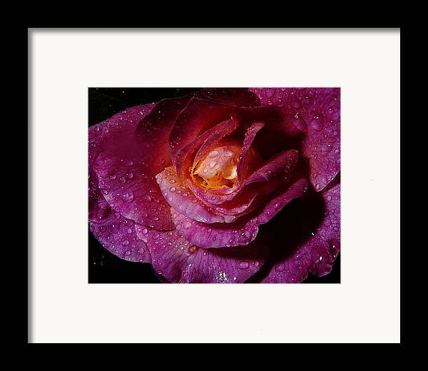 Framed Print featuring the photograph Rainy Day Rose by Joseph Reilly