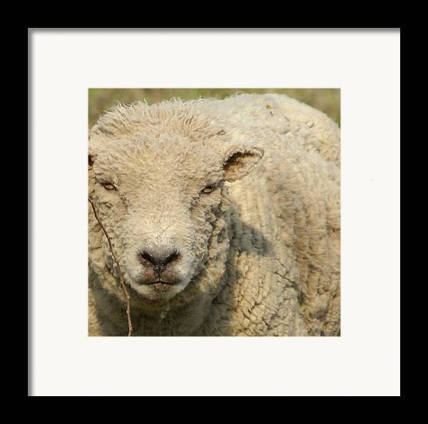 Farm Animal Framed Print featuring the photograph Ramsy - Debbie-may by Debbie May