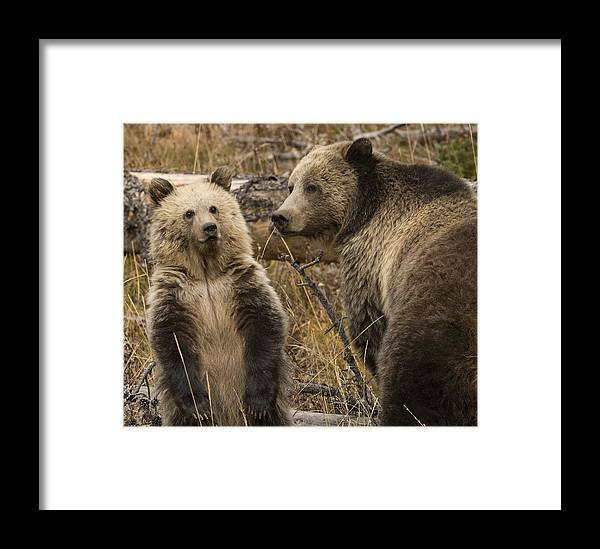 Grizzly Bear Framed Print featuring the photograph Raspberry And Snow by Amy Gerber