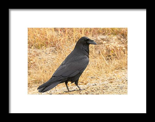 Bird Framed Print featuring the photograph Raven by Dennis Hammer