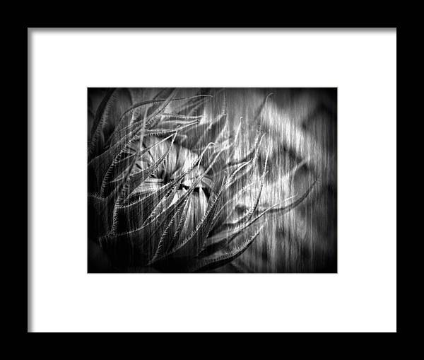 Sunflower Framed Print featuring the photograph Reaching Beyond by Tingy Wende