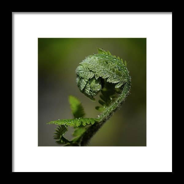 #wisconsin #outdoor #fineart #landscape #photograph #wisconsinbeauty #doorcounty #doorcountybeauty #sony #canonfdglass #beautyofnature #history #metalman #passionformonotone #homeandofficedecor #streamingmedia #damesrocket #invasive #spring #explorespring #springwildflower #reacking #buddingout #fern #dew #buddingout #green Framed Print featuring the photograph Reaching Out by David Heilman