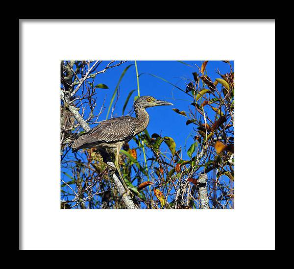 Animals Birds Feathers Fauna Framed Print featuring the photograph Ready II by LOsorio Photography