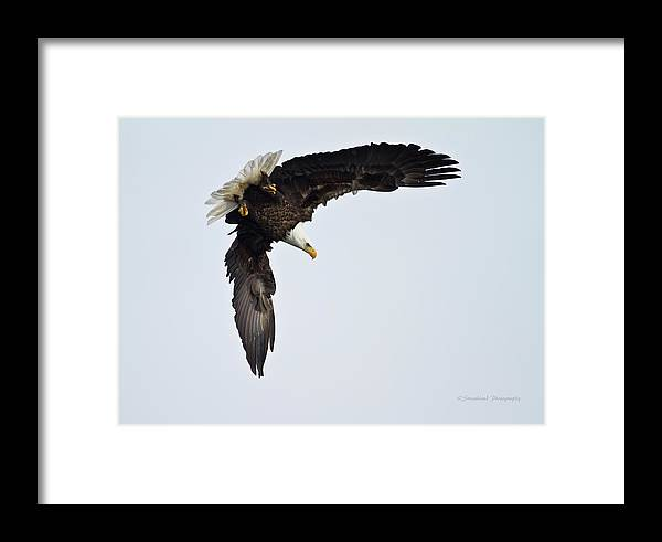 Bald Eagle Framed Print featuring the photograph Ready To Dive by Straublund Photography