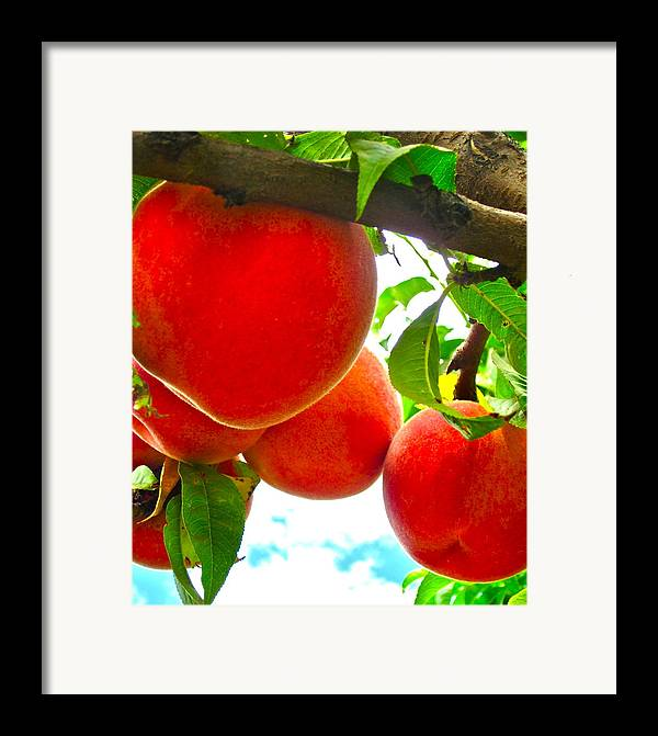 Photograph Of Peaches Framed Print featuring the photograph Ready To Pick by Gwyn Newcombe