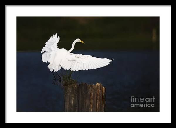 Egrit Framed Print featuring the photograph Ready To Roost by Cecil Fuselier