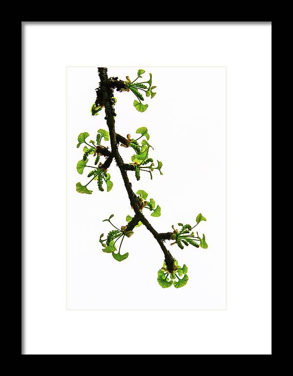 Ginkgo Framed Print featuring the photograph Rebirth by Briand Sanderson