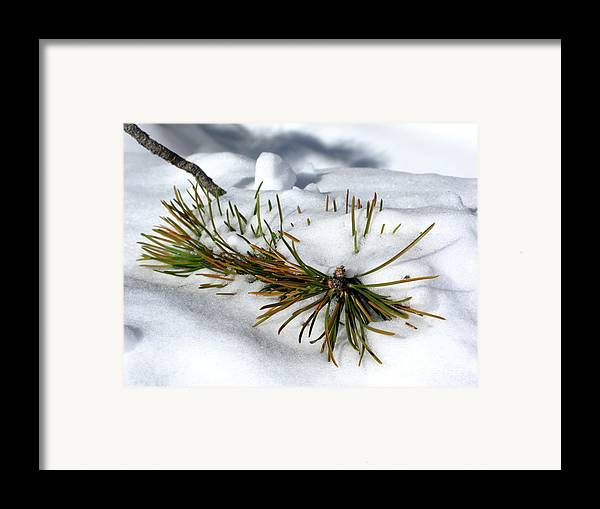 Pine Tree Framed Print featuring the photograph Recent Blanket by PJ Cloud