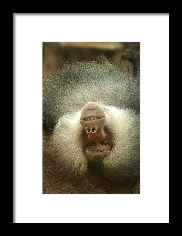 Baboon Framed Print featuring the photograph Reclining Baboon by Richard Henne