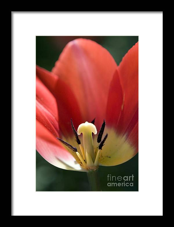 Red Framed Print featuring the photograph Red And Blushing 1 by Jeannie Burleson
