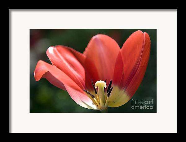 Red Framed Print featuring the photograph Red And Blushing 2 by Jeannie Burleson