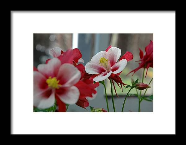 Red Framed Print featuring the photograph Red And White Flower by Mark Platt
