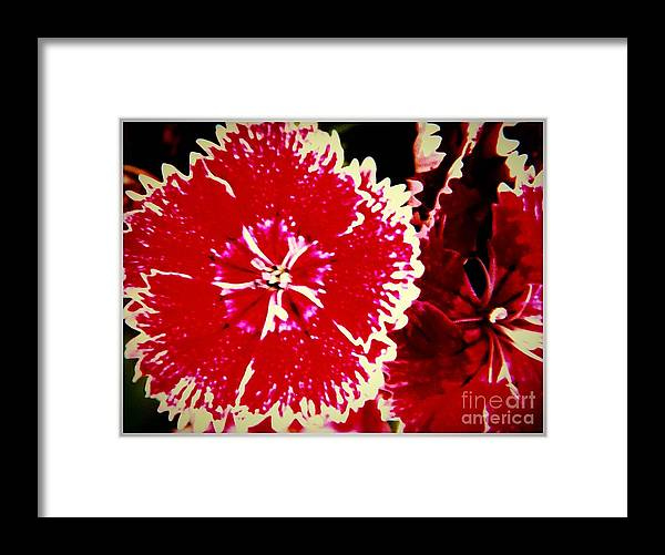 Red Framed Print featuring the photograph Red And White Mum by Debra Lynch