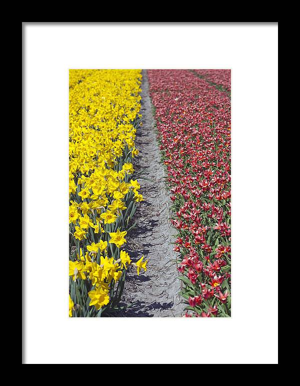 Agriculture Framed Print featuring the photograph Red And Yellow Tulip Fields by Andre Goncalves