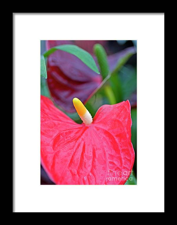 Psi Framed Print featuring the photograph Red Anthurium Flower by Ofer Zilberstein