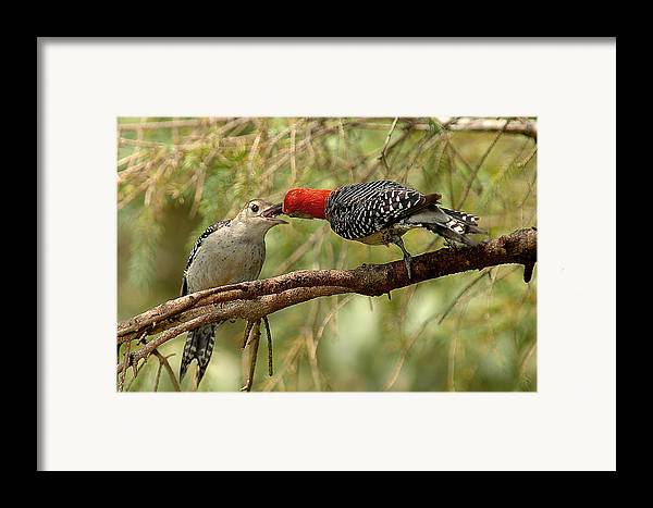 Red Bellied Woodpecker Framed Print featuring the photograph Red Bellied Woodpecker Feeding Young by Alan Lenk