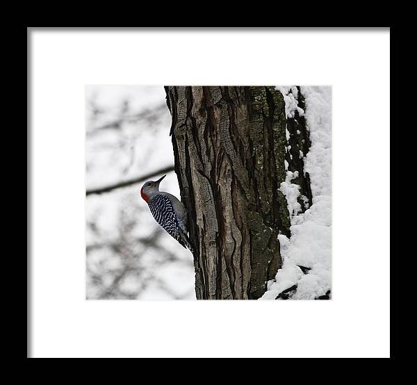 Woodpecker Framed Print featuring the photograph Red Bellied Woodpecker No 1 by Teresa Mucha