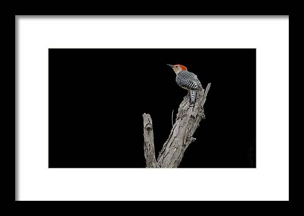 Roy Williams Framed Print featuring the photograph Red-bellied Woodpecker Portrait by Roy Williams