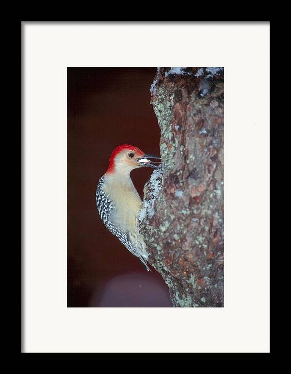 Bird Framed Print featuring the photograph Red-bellied Woodpecker by Raju Alagawadi