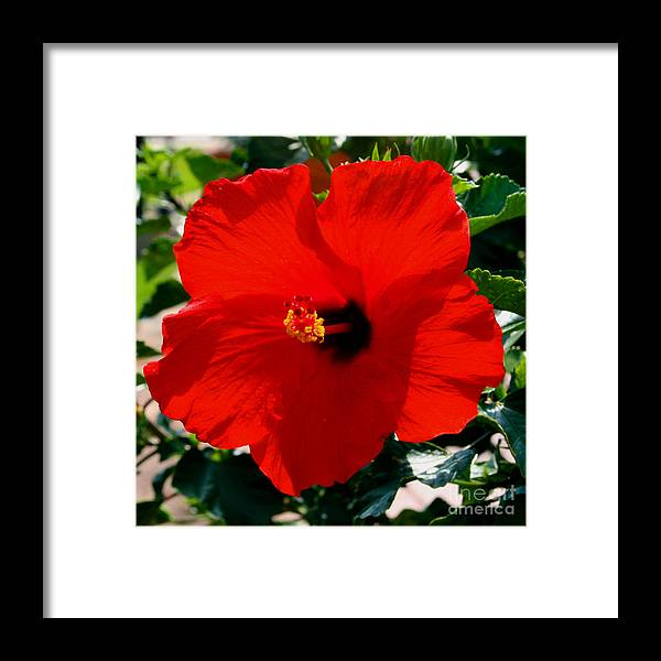 Red Framed Print featuring the photograph Red Bloomers by Paul Anderson