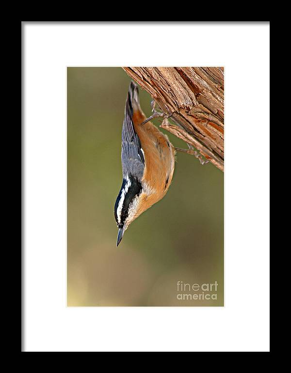 Nuthatch Framed Print featuring the photograph Red-breasted Nuthatch Upside Down by Max Allen