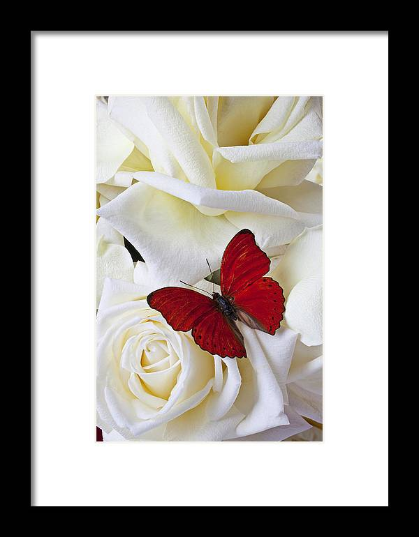 Red Framed Print featuring the photograph Red Butterfly On White Roses by Garry Gay