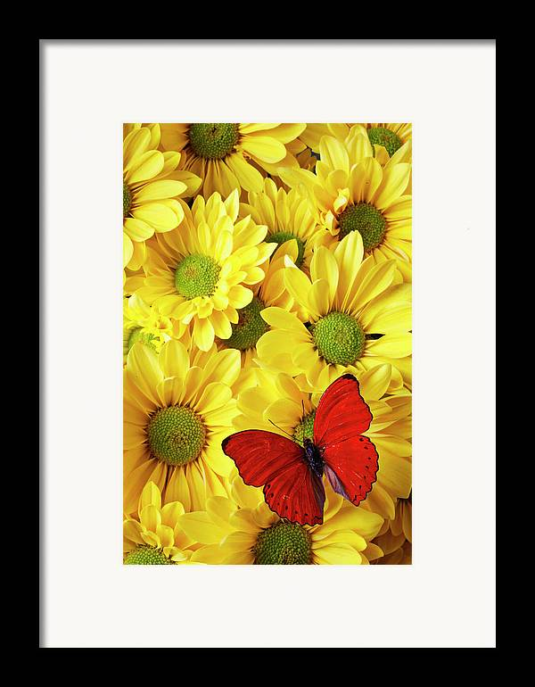 Red Butterfly Yellow Mums Flowers Framed Print featuring the photograph Red Butterfly On Yellow Mums by Garry Gay
