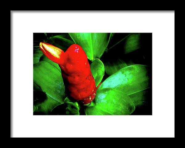 Plant Framed Print featuring the photograph Red Button Ginger by Joseph Hollingsworth