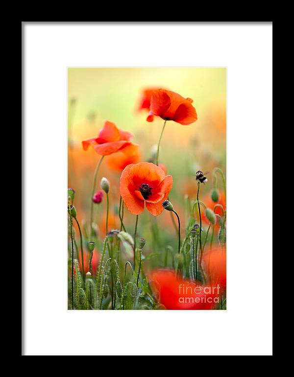 Poppy Framed Print featuring the photograph Red Corn Poppy Flowers 06 by Nailia Schwarz