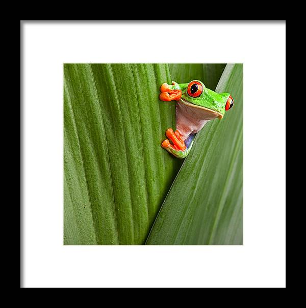 Red Eyed Tree Frog Framed Print featuring the photograph Red Eyed Tree Frog by Dirk Ercken