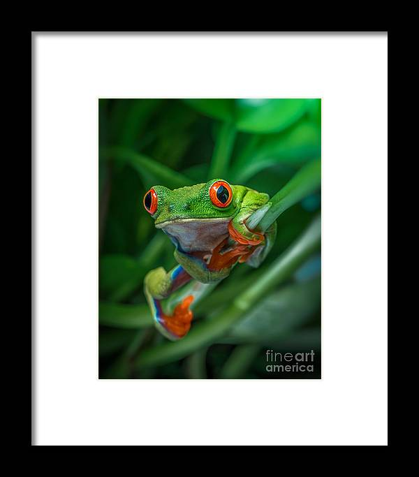 Frog Framed Print featuring the photograph Red Eyed Tree Frog by Yasar Ugurlu