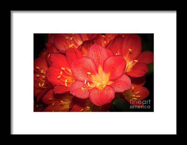 Flower Framed Print featuring the photograph Multiple Red Flowers In Bloom by Christopher Chan