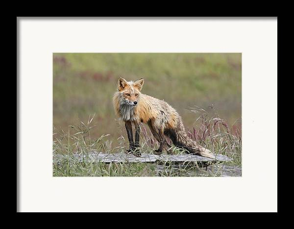 Red Fox Framed Print featuring the photograph Red Fox American Camp San Juan Island by Sandy Buckley