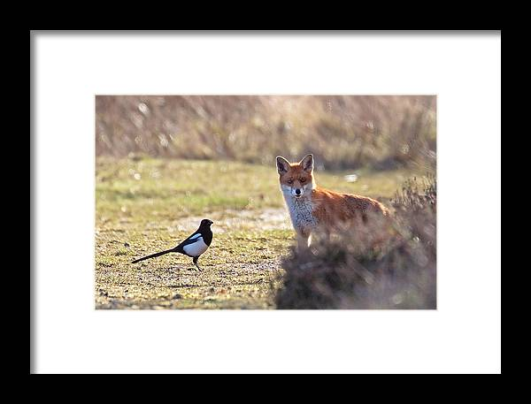 Magpie Framed Print featuring the photograph Red Fox And Magpie by Bob Kemp
