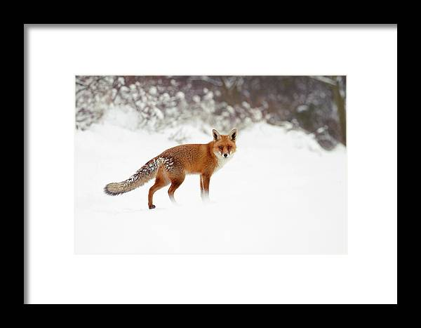 Red Fox Framed Print featuring the photograph Red Fox In Winter Wonderland by Roeselien Raimond